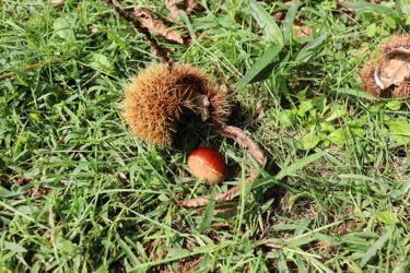 秋だなぁ〜裏山の栗を食す休日 #わたしの好きな丹後の食